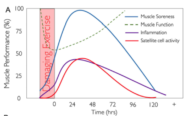 Figure 1. Changes in muscle function, muscle pain, inflammation, and satellite cell activation after an exercise that causes muscle damage. Obtained from Owens et al.2
