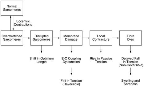 Figura 1. Resumo de alguns dos processos envolvidos durante o processo de danos musculares induzidos por exercícios. Imagem obtida de Proske & Morgan.2