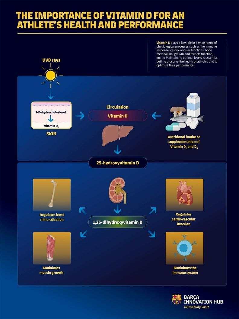 Figura 4. Mecanismes de síntesis de vitamina D i com modula processos d'homeòstasis de l'organisme.